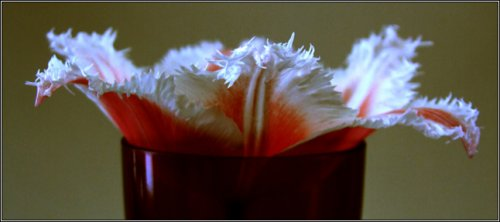 flowers-another-cup-of-tulip