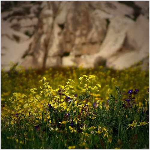 yellow-flowers-in-uchisar